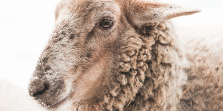 Portrait of Sheep in Winter