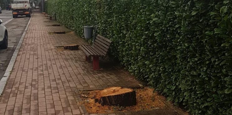"""Entratico, addio ai pini, il sindaco: """"Verranno sostituiti da altre piante"""""""