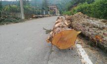 Spinone: Il sindaco taglia i pini pericolanti